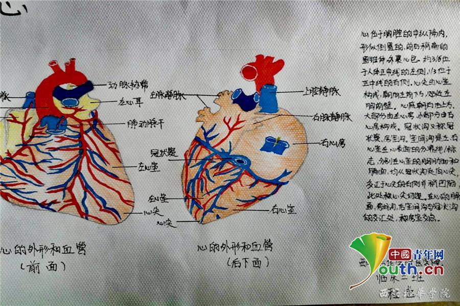 医学生手绘人体解剖图 图片合集